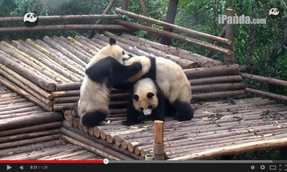 It's Panda-monium! Play-fighting pandas pummel and paw their way into our hearts