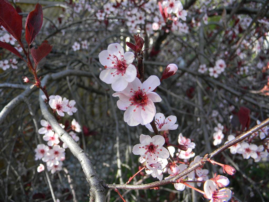 10Cherry_blossoms