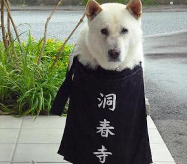 There's a temple in Yamaguchi that keeps a dog as Chief Priest
