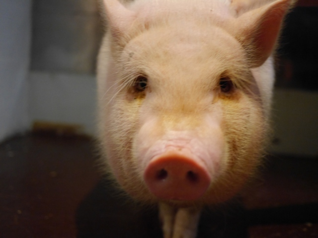 We go to Kanazawa to meet Bao, the miniature pig who works in a pork restaurant【Video】
