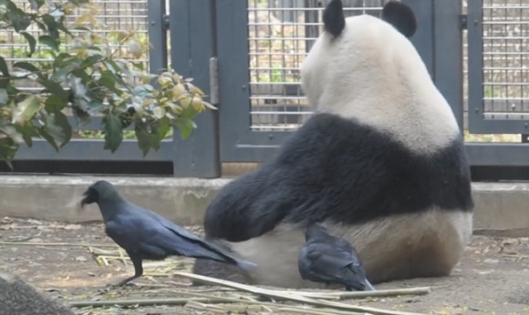 Cheeky crows pluck panda's fur to line their nests at Ueno Zoo, panda doesn't seem to mind