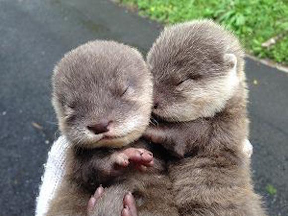 Hirakawa Zoo's Twitter feed packed with baby otters, extreme levels of cuteness