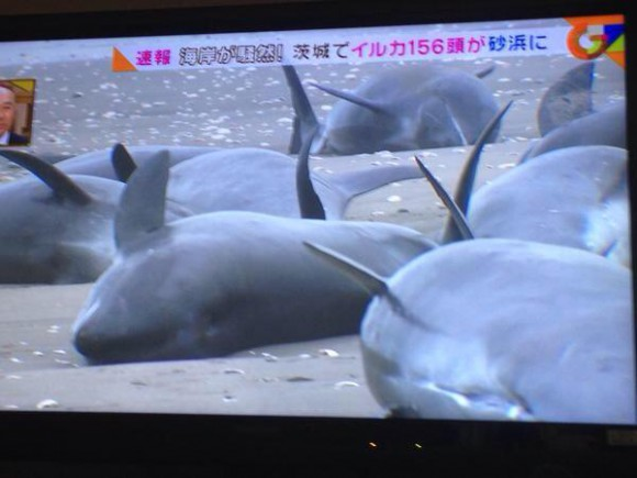 Over 150 whales found beached in Ibaraki, same thing happened before 2011 Tohoku earthquake