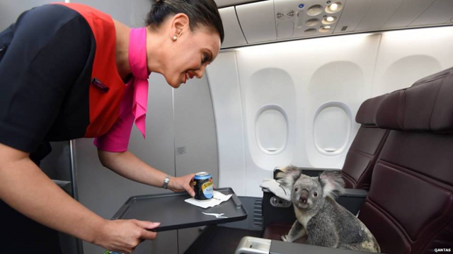 Cuddly koalas pose in business class as part of trip to celebrate Singapore's 50th birthday