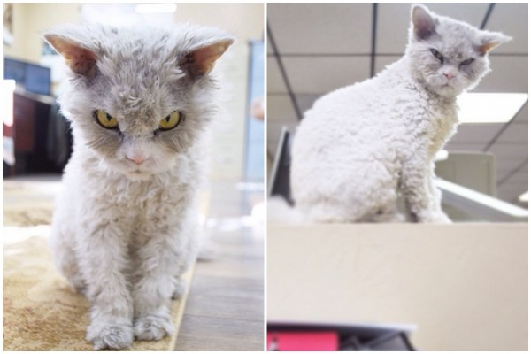 Angry is the new grumpy! Bow to Pompous Albert the cat, or suffer his perpetual wrath!【Photos】