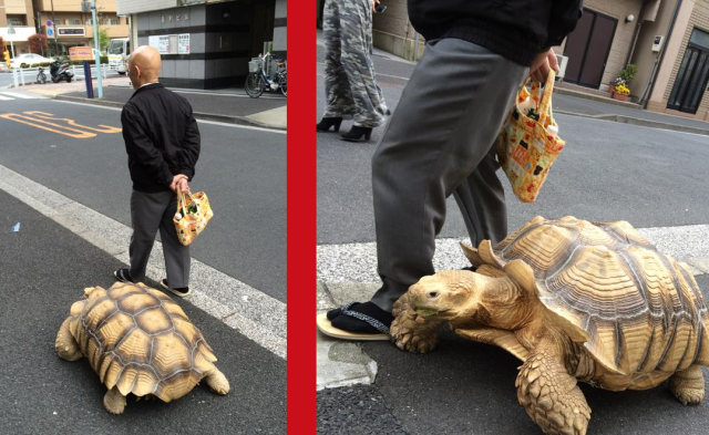 World's most patient pet owner strolls Tokyo with his huge tortoise