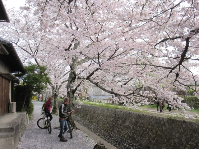 The not-so-fleeting beauty of the cherry blossoms: An alternate perspective