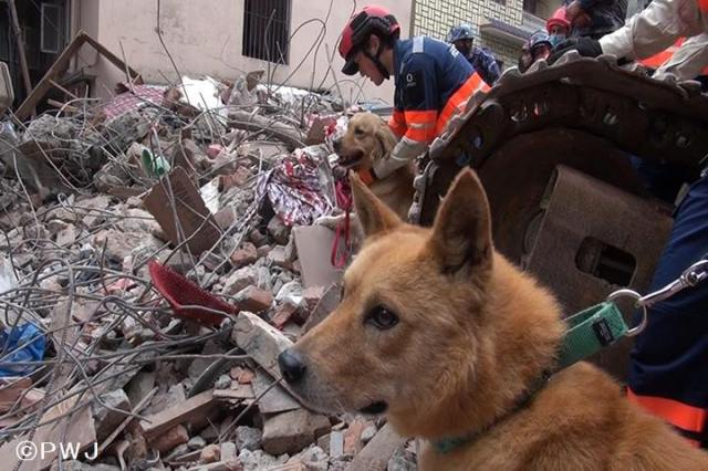 Rescued dog becomes rescue dog as Hiroshima stray joins search for survivors in Nepal