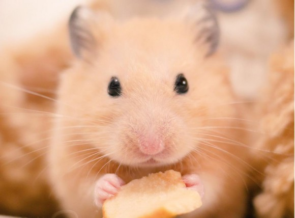 Nappa the sleepy greedy hamster has the biggest and cutest yawn we've ever seen!
