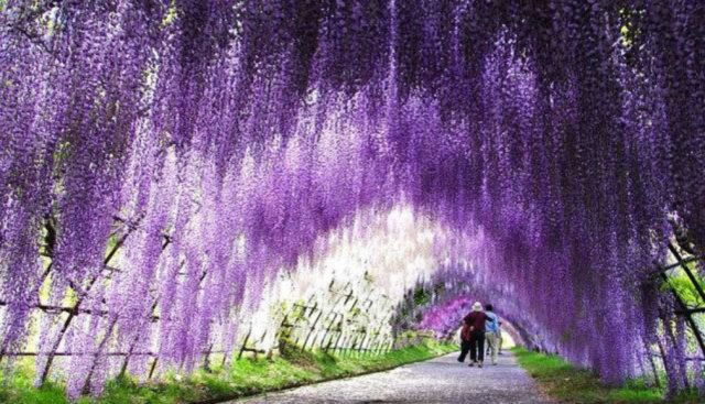 Kitakyushu's spectacular wisteria tunnel is blooming! You don't want to miss it!