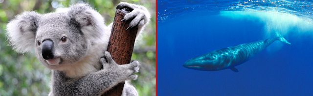 Australia mulls koala cull, Japan's whaling advocates eat up the irony like delicious whale meat