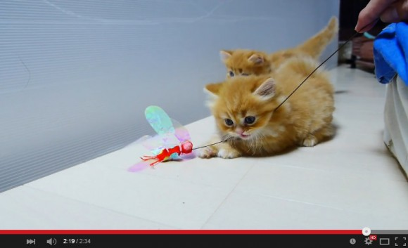 Feeling stressed? These videos of stubby Munchkin kittens at play will hug your soul