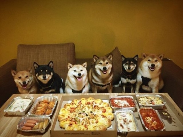 Just six Shiba Inu chillin' out at a pizza party【Photos】