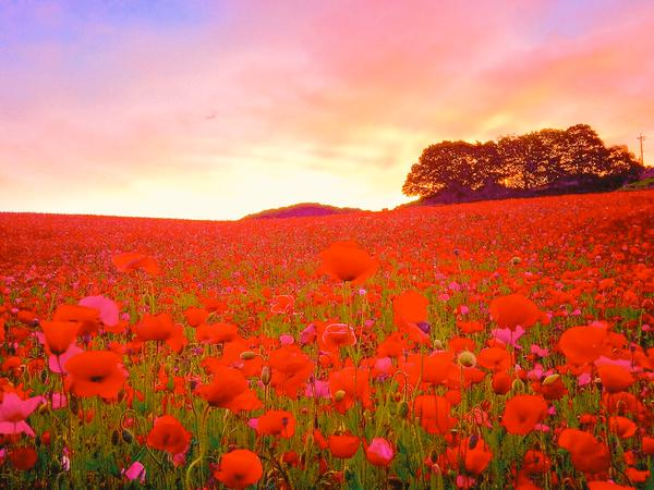 15 million flowers are in beautiful bloom right now at Saitama's field of Heavenly Poppies