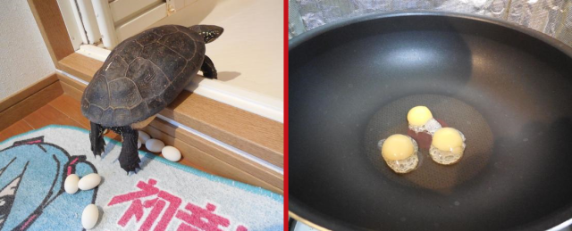Pet turtle in Japan lays clutch of eggs in owner's apartment, owner tosses them into frying pan
