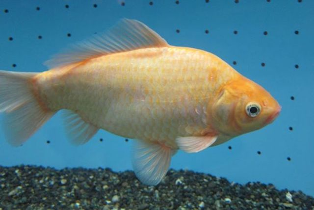 Giant 25cm-long 'miracle goldfish' found after hiding in Japanese aquarium for seven years