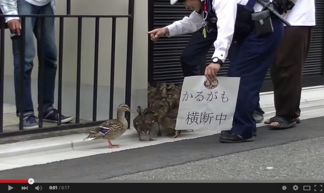 Mother Duck and her 14 ducklings stroll the streets of Kyoto to get home 【Videos】
