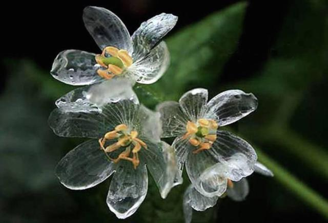 """Skeleton"" flower turns transparent when wet"