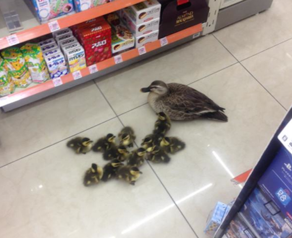 Mama duck goes shopping with her ducklings, takes over Lawson and Twitter with cuteness
