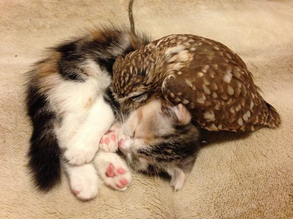 This owl and kitten duo napping is the most adorable thing you will see today 【Photos】