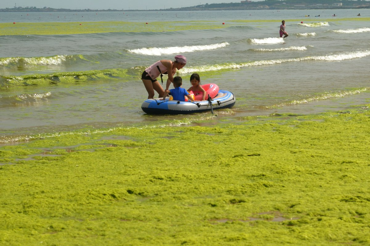 ever-since-the-large-blooms-started-popping-up-tourists-have-viewed-it-as-a-summer-tradition-to-head-down-to-the-beach-and-play-in-the-algae