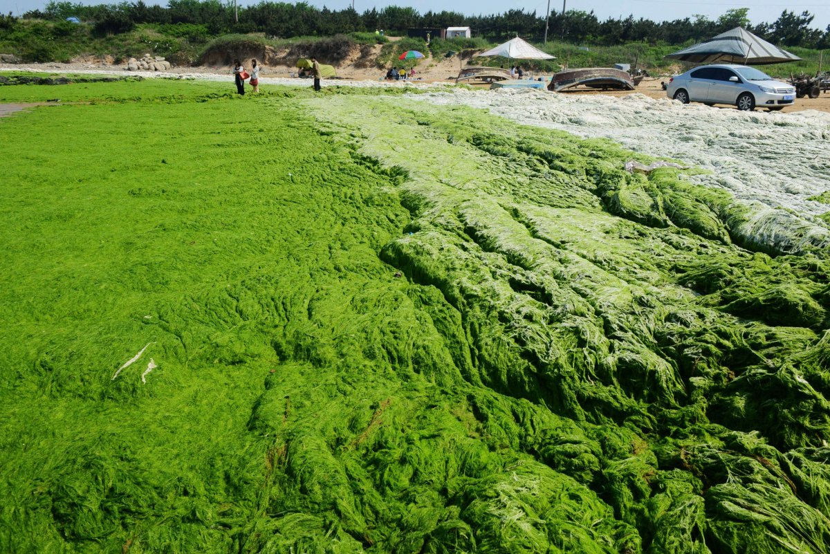 if-left-where-it-is-the-algae-can-spread-to-other-beaches-and-become-an-even-bigger-environmental-problem