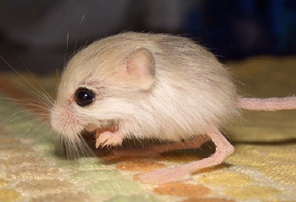 """World's smallest """"hopping mouse"""" could fit into your pocket's pocket"""