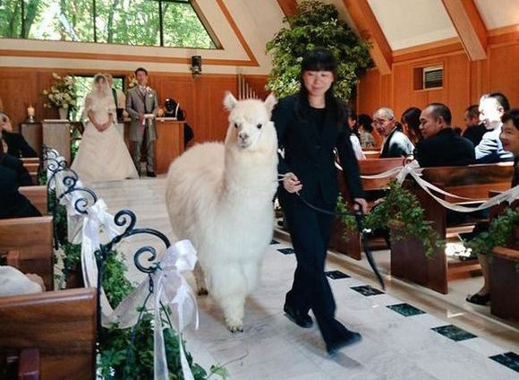This wedding hall in Japan will provide an alpaca to witness you exchange your vows