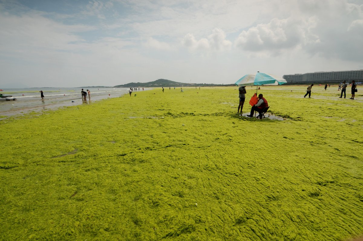 the-algae-blooms-every-year-on-the-beaches-in-qingdao-on-chinas-northeast-coast-between-beijing-and-shanghai-the-first-blooms-appeared-in-2007-after-seaweed-farmers-working-south-of-qingdao-switched-up-how-they-clean-off-their-rafts