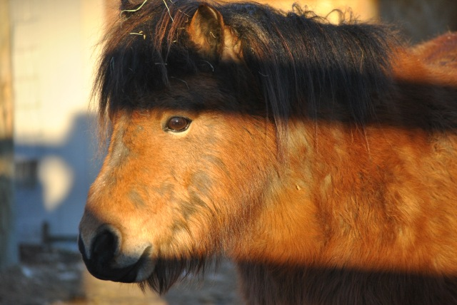 Animal cruelty on Mt. Fuji? We investigate horses in Japan's tourist trade