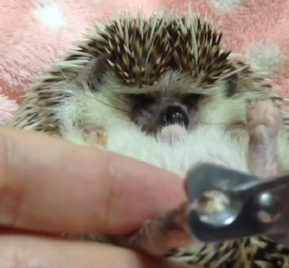 Hedgehog nail clipping – The cutest form of pet grooming 【Video】
