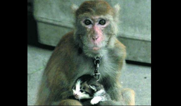 Chinese monkey steals fruit, vegetables and…kittens?!