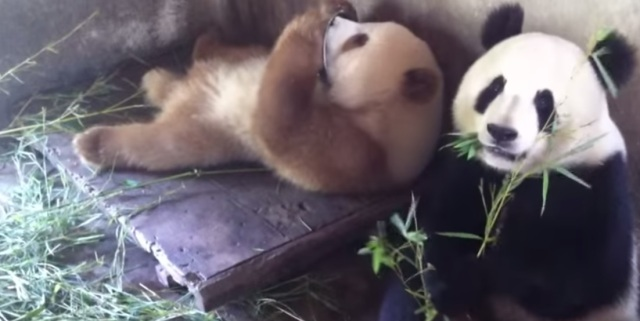 Not so black and white: This extremely rare brown panda is still as cute as can be!