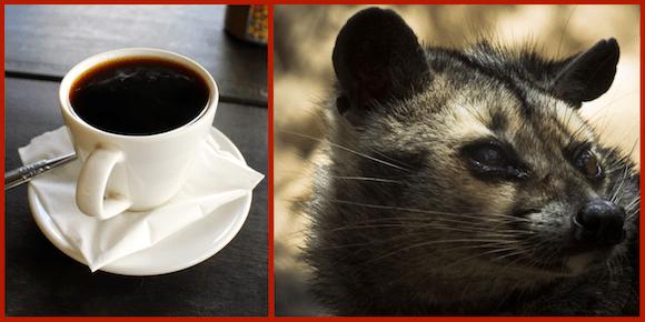 We try civet poop coffee【Taste Test】