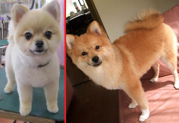 Japanese Twitter user accidentally transforms his pet Pomeranian into a Shiba Inu
