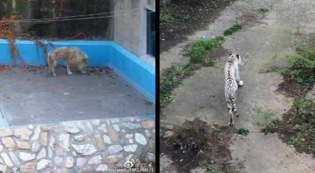 Photos of scrawny-looking lion and tiger raise concerns for Beijing Zoo's big cats