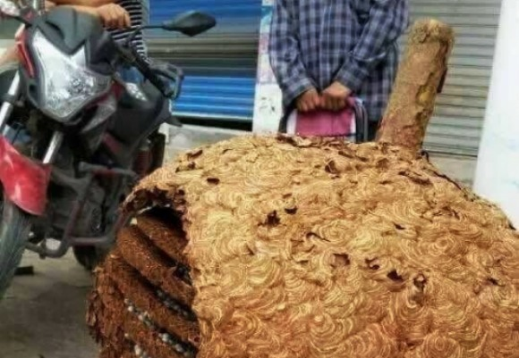 Chinese mushroom picker discovers monstrous beehive