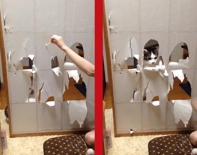 Cute cat's curiosity kills the Japanese sliding paper door 【Video】