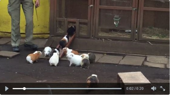 【Monday Kickstart】Guinea pigs heading home for the night are delightfully darling