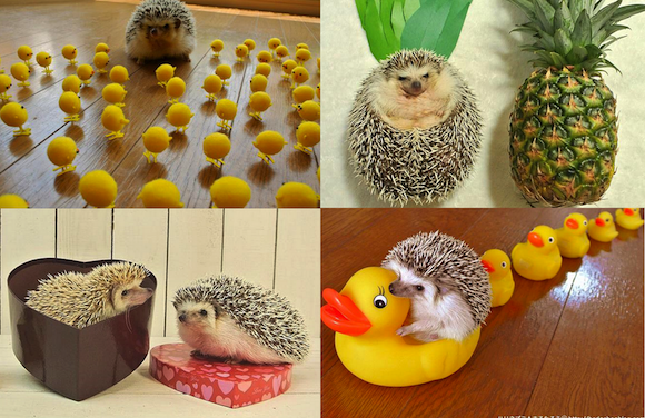 Marutaro the hedgehog is still as cute as a button, and now he's a family hedgehog! 【Pics】