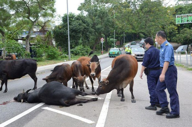 Cow herd gathers and mourns after fellow bull hit by a car in Hong Kong