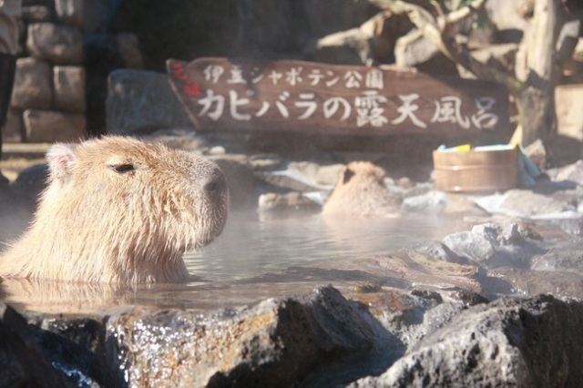 It's that time of year again… when we get to see giant rodents soak blissfully in a hot bath!