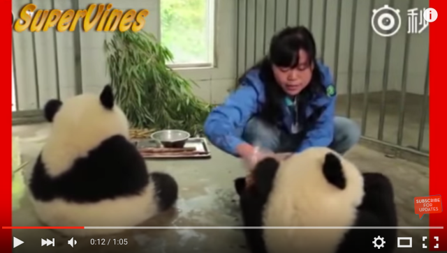 Hand-washed pandas look adorable, melt our hearts【Video】