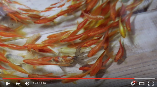 Take a look at these gorgeous goldfish… created by a Japanese artist!【Pics & Videos】