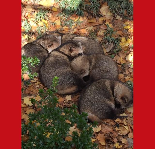 Tanuki teamwork! Japanese raccoon dogs' cuddly communal nap is too cute to miss 【Photos】