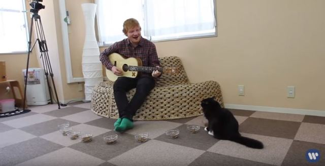 "Felines flee when Ed Sheeran plays ""Thinking Out Loud"" at cat cafe in Japan【Video】"