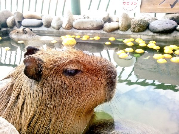 Capybara across Japan ward off the sniffles by bathing with yuzu, delivering big dose of adorable