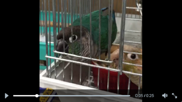 Two parrots plot to escape from cage, one gets an unpleasant surprise (betrayal?) 【Video】