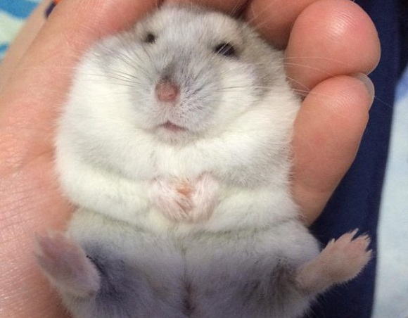 Japanese Twitter is trying to find the best hamster in an all-hamster tournament【Pics】