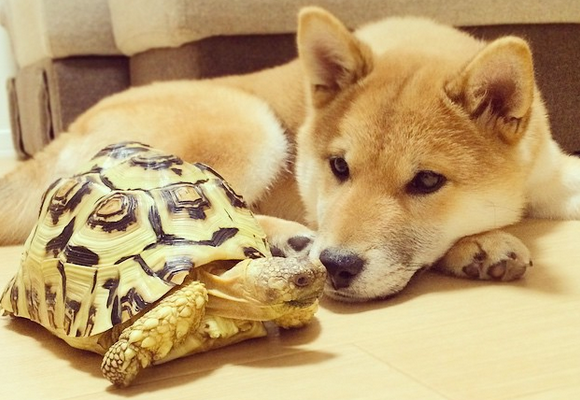 Adorable Shiba Inu and tortoise duo prove you don't have to look alike to be best friends【Pics】